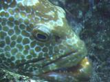 Cleaner Fish In Groupers Mouth