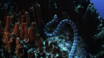 Banded Sea Snake Hunts Around A Coral Reef