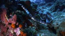 Two Banded Sea Snake Hunts Around A Coral Reef