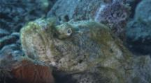 Devil Scorpionfish Patiently Waits On Bottom