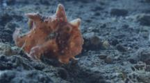 A Painted Frogfish Slowly Move To Reposition Itself While It Hunts