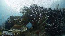 Silver Sweepers School Around A Coral Head In A Blue Water Mangrove Lagoon
