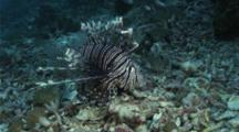 Indian Lionfish Hovering And Hunting Close To A Reef