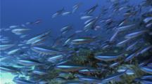Bluestreak Fusilier School Next To A Reef