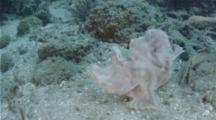 Paddle-Flap Scorpionfish Wades In The Current Patiently Waiting For Prey.
