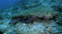 Zebra Moray And White-Eyed Moray under ledge