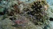 Juvenile Indian Lionfish Hovering And Hunting Close To A Reef