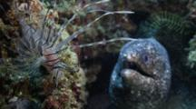 Juvenile Indian Lionfish Hovering And Hunting Close To A Reef While A Giant Moray Looks On