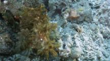 Lacey Scorpionfish Wading In The Surge, Waiting For Prey.