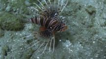 Spotfin Lionfish Hunting On The Bottom Of A Reef