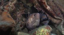 Giant Morays Share A Shallow Cavern With A Bamboo Shark While Being Cleaned By Shrimp
