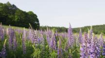 Travel Through Wild Lupins Field