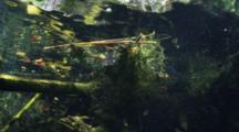 An American Alligator Swims Amongst Vegetation In A Fresh Water Cenote Know As