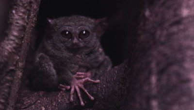 A Tarsier Monkey Rests Inside A Fig Tree Burrow, good view of weird hands