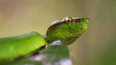 A Green Tree Viper Lies Motionless Amongst Leaves Tasting The Air As Raindrops Fall On Leaves