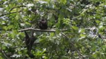 Young Celebes Crested Macaque Play In The Lower Branches Of A Tree