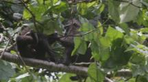 Two Celebes Crested Macaque Groom Each Other On A Tree Top