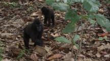 Celebes Crested Macaque Foraging On The Forest Floor