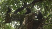A Troop Of Celebes Crested Macaque Rest And Play On A Large Tree