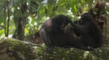 Celebes Crested Macaque Grooming On A Large Tree Limb