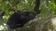Celebes Crested Macaque Lays Horizontally Resting On A Large Tree Limb With Penis Erect