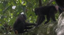 Celebes Crested Macaque Rest On Large Tree Top Limb