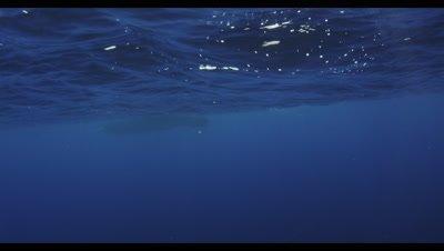 Sperm Whales Azores, Physeter macrocephalus