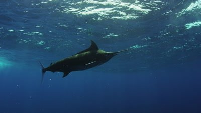 Blue Marlin swimming in open water