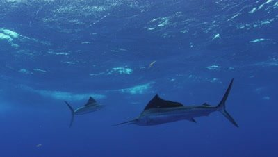 Atlantic Sailfish Mauricio Handler Stock Footage
