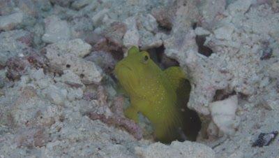 Yellow Shrimp Goby