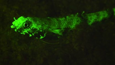 Lizard Fish under Ultra Violet LIght