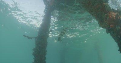 Caribbean Squid Feeding under a pier