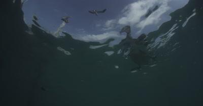 Brown Pelicans Feed Under Pier
