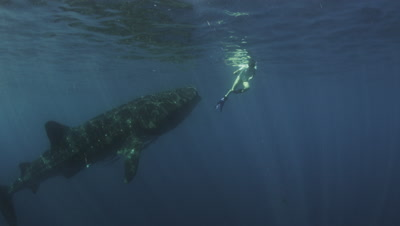 Snorkelers swim with Whale Sharks feeding on Bonito Spawn
