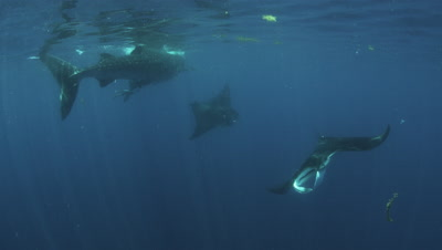 Whale sharks and Manta Rays Feed on Bonito spawn