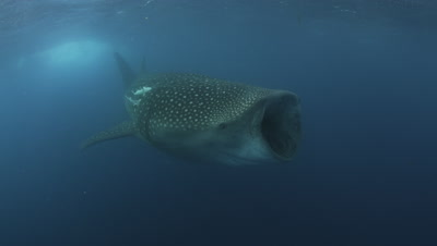 Whale Shark with remoras feeds during the Bonito Spawn