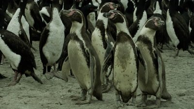 Humboldt Penguin socialize within a Cormorant colony