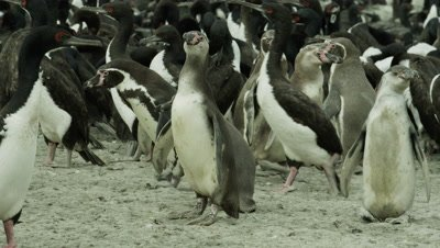 Humboldt Penguin,Spheniscus humboldti