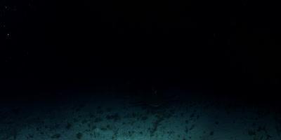 Bull Shark , Carcharhinus leucas