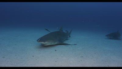 Tiger Shark ,Galeocerdo cuvier