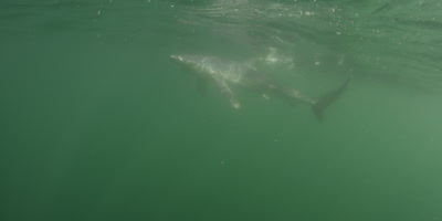 Blue shark,Prionace glauca