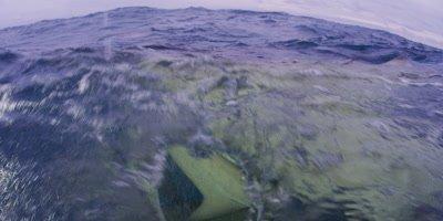 Lemon Shark,Negaprion brevirostris Swarm