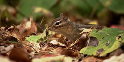 An Eastern chipmunk forages on a forest floor