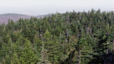 Panorama of Coniferous Forest