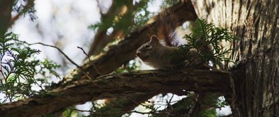 An American Red Squirrel stands its ground
