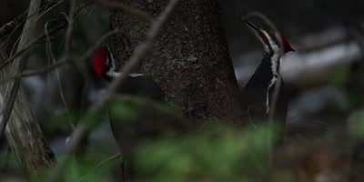 Male Pileated Woodpeckers sizing each other out, Acadia National Park, Maine