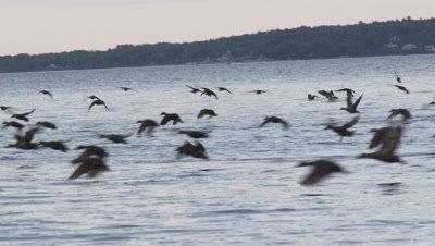 Black ducks on the water, Maine