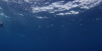 A Short Fin Mako swims in clear blue tropical water