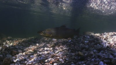Landlocked Atlantic Salmon in a Fresh Water stream in Maine