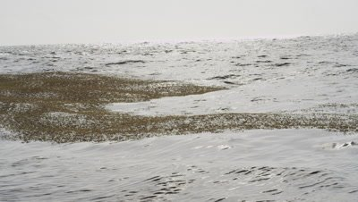 Sargassum Seaweed congregates into small Islands in a calm windless Sea